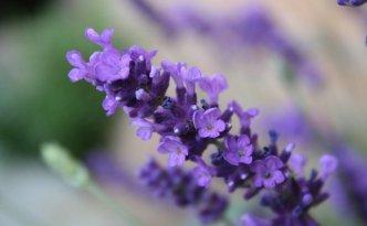 Ilustrasi Lavender | Img:freeimages.com