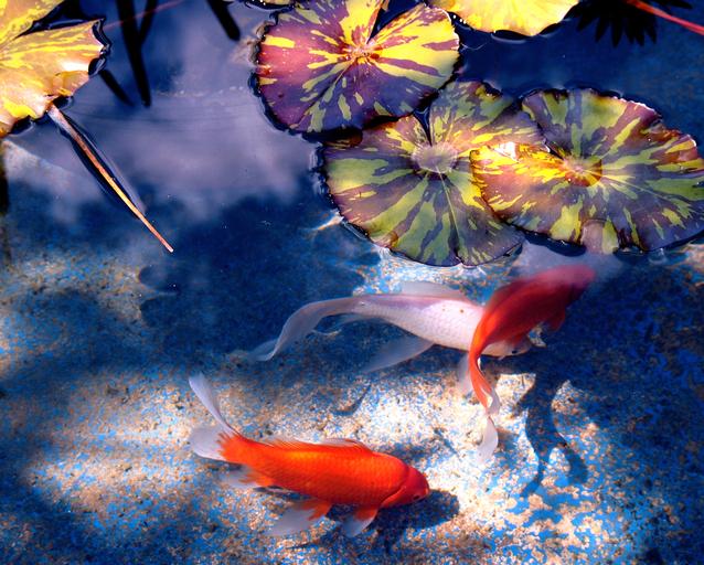 Ilustrasi Kolam Ikan | Img:freeimages.com