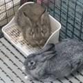 Kelinci peliharaan di dalam kandang