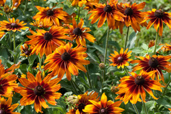 Image result for Poor-land daisy