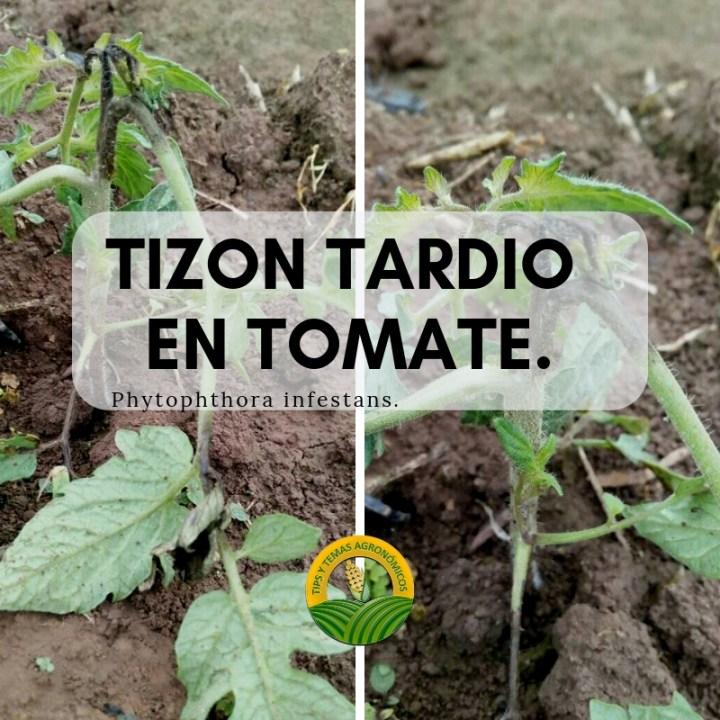 Tizón tardío en Tomate y como identificarlo. Como controlar tizón tardío en tomate
