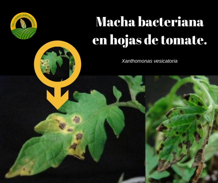 Mancha bacteriana en hoja de tomate