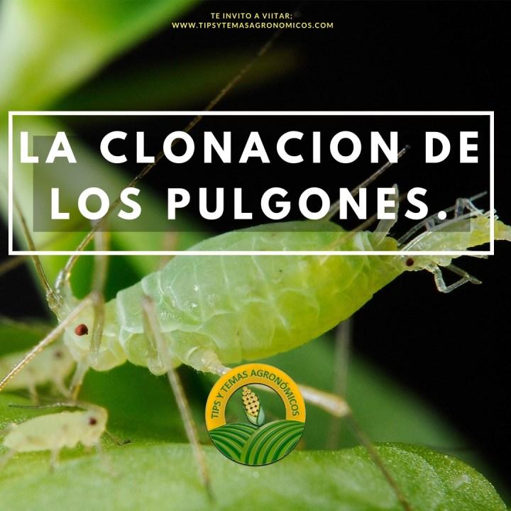 La clonación de los pulgones la partenogenesis