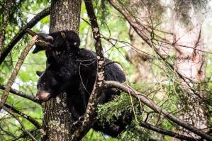Jennifer Hutsell black bears in cades cove