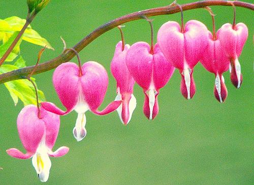 bleeding heart 10 Most Beautiful Flowers In The World