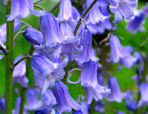 blue bell 10 Most Beautiful Flowers In The World