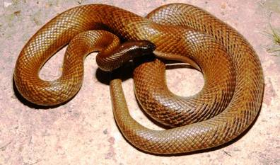 1. Inland Taipan Top 10 Most Dangerous Snake Species