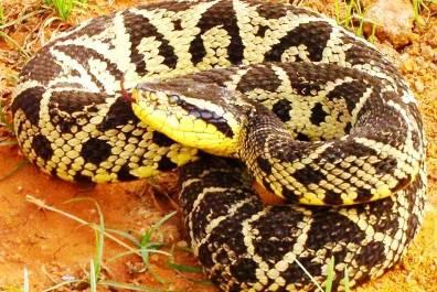 10. Jararacussu Top 10 Most Dangerous Snake Species