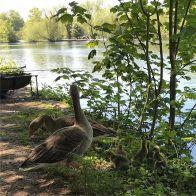 Geese enjoying the sun