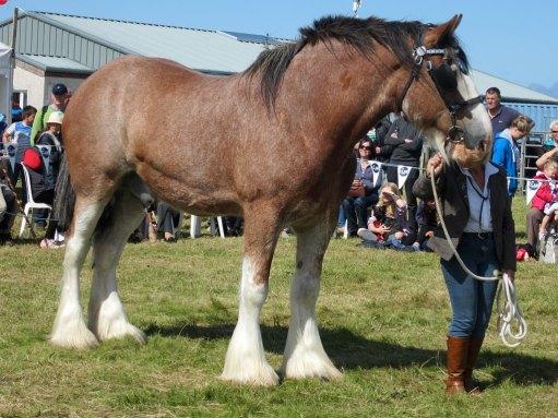 heavy horse