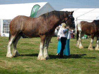 Clydesdale champion at Tiree Show 2014