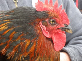 Black Rock Hen at Tiree Agricultural Society Show