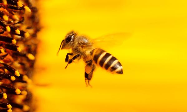 Abeja volando a punto de entrar en una flor sobre fondo amarillo