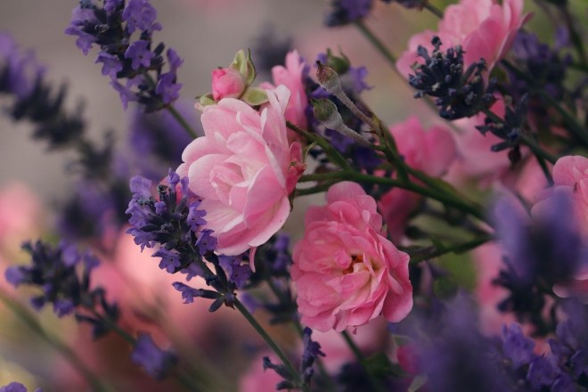 Lavendel und Rosen