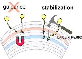 visual system axons