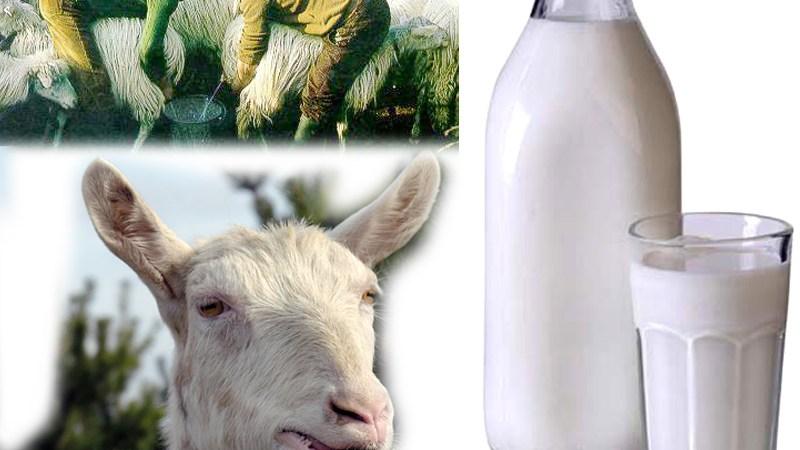Svezzamento: il latte di capra pro e contro
