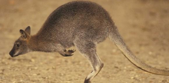 5924921-kangourou-dundee