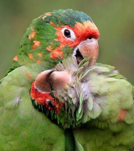 deux-adorables-perroquets-occupes-a-se-faire-des-calins_127561_w460