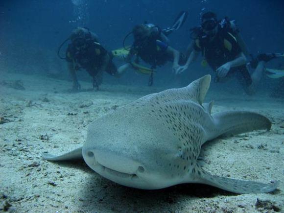 requin-zebre-1