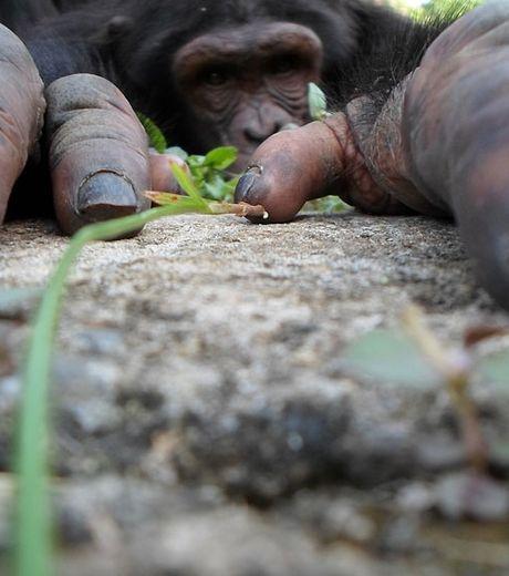 un-chimpanze-photographie-ici-en-contre-plongee-au-moment-ou-celui-ci-escaldait-un-rocher_127567_w460