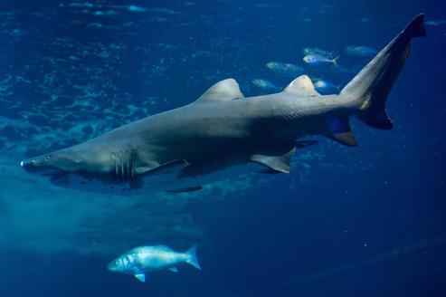 Un requin tigre. Crédits photo: AFP