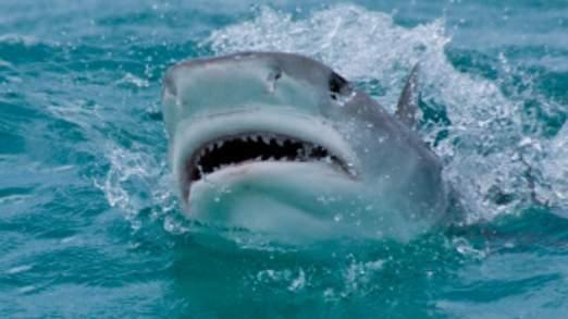 Le requin tigre encerclé Jeff Horton avant de lancer son attaque