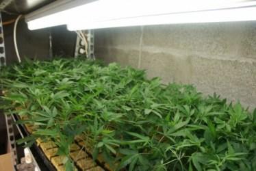 la plantation de cannabis trouvée par hasard