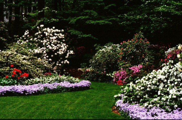 landscaping with rhododendrons