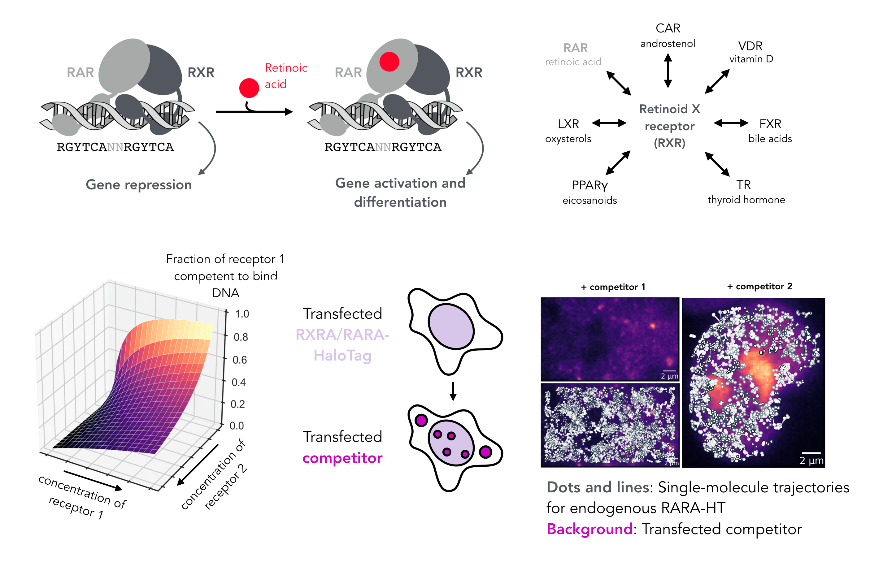 Competitive binding kinetics of type II nuclear receptors in live cells