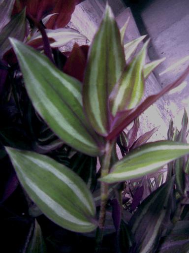 Usos y aplicaciones medicinales de la hierba de la cucaracha o Tradescantia zebrina Heynh ex Bosse Tlahui  Medic No 31 I2011