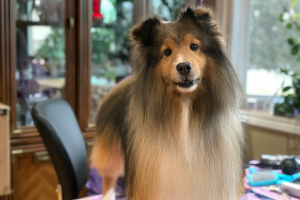 Grooming a Sheltie with Terrie Crawford