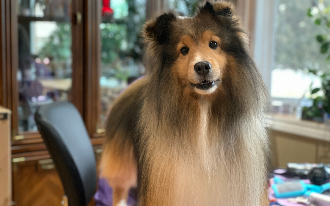How to Keep a Sheltie's Back Quarter Fur Clean