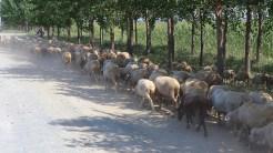 Animale din Luncavița pasc pe un drum plin de praf. FOTO Adrian Boioglu