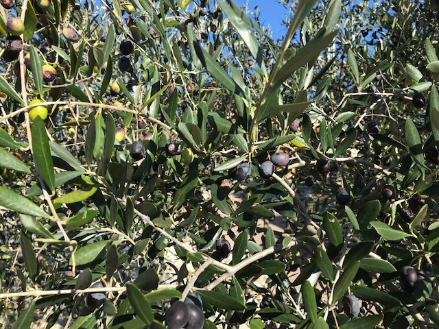 Olive tree in Istria