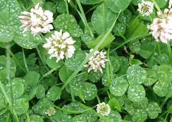 We hunted for four-leaved clovers