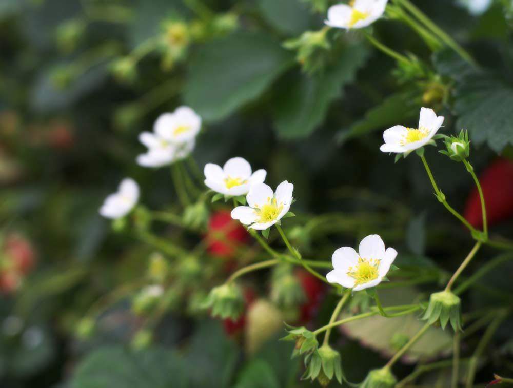fotografia, material, livra, ajardine, imagine, proveja fotografia,Uma flor de morango de Ishigaki, Fruta, morango, morango, morango