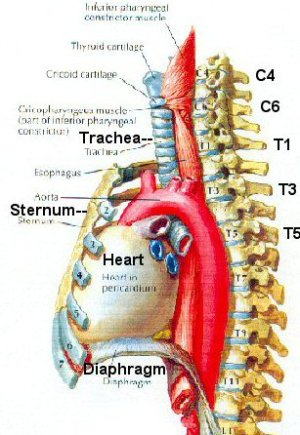 Kenh's Blog: trachea esophagus diagram