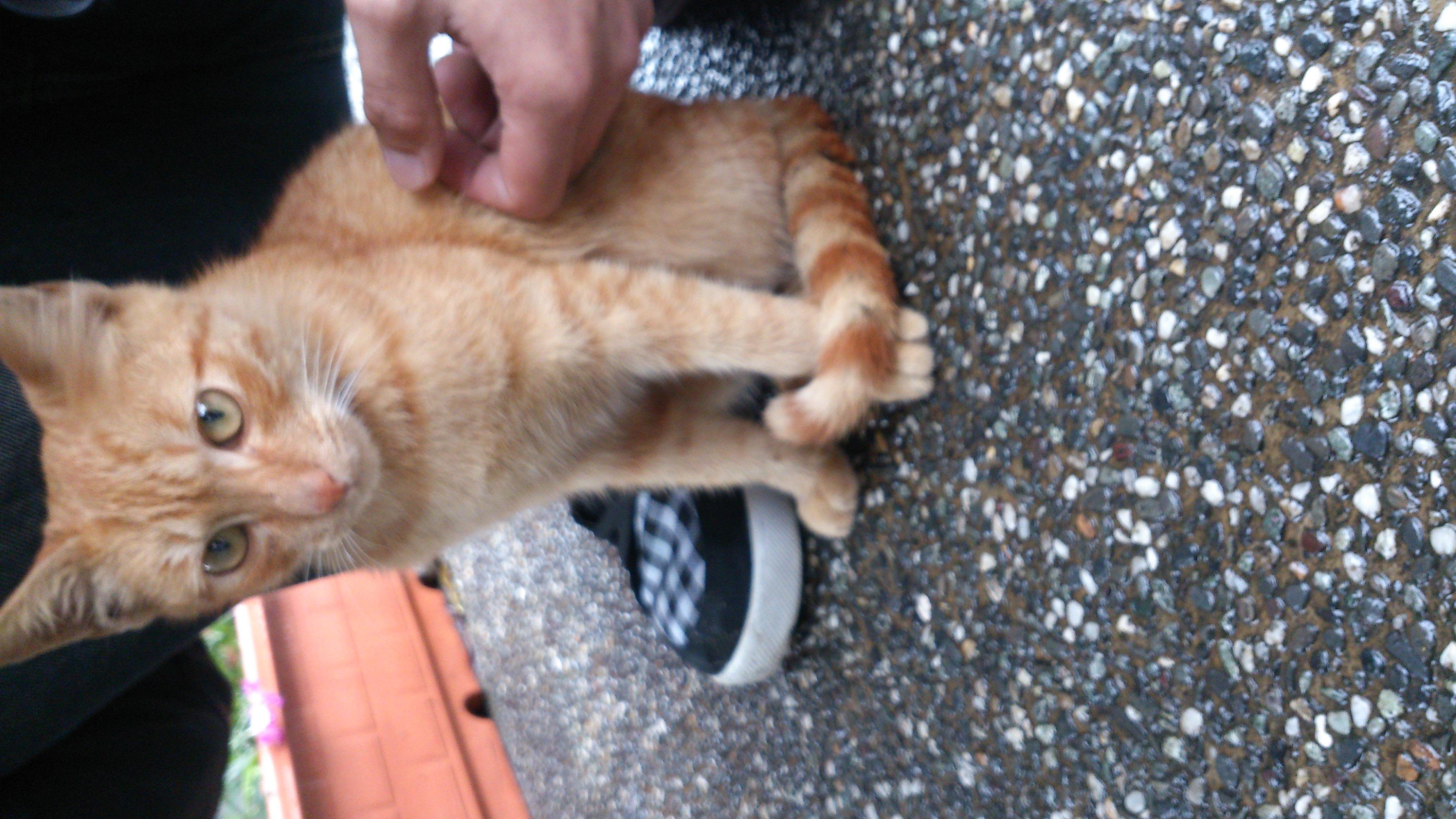 認養相本-- 超親人小橘公貓 -- 臺北市支持流浪貓絕育(TNR)計劃協會