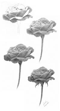 Rose drawing steps