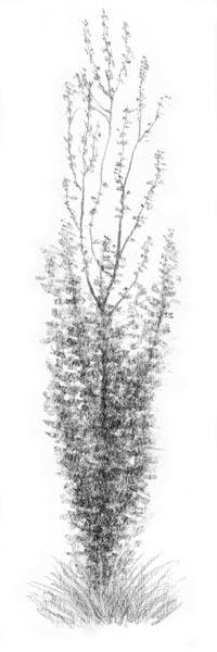 Sketched Poplar