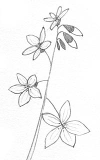 Draw A Wild Flower With Simple Shapes Carol S Drawing Blog