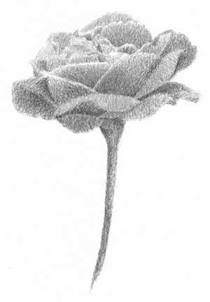 Entire rose shaded with mid values fully darkened. C. Rosinski