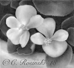 Begonia Drawing Finished Carol Rosinski