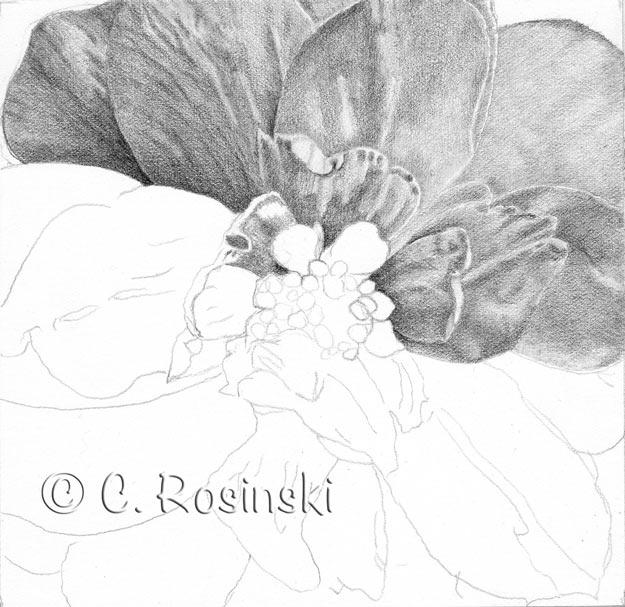 Begonia-Blossom001-rosinski