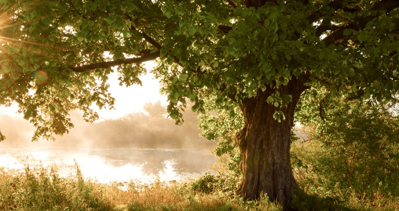 Oak Tree In Full Leaf In Summer Standing Alone