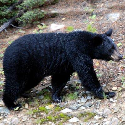 Imagini pentru ursi negri