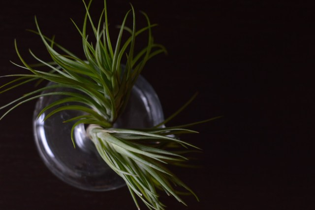 Air plants displayed in an artistic way.