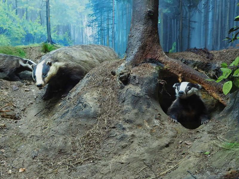 Diorama einer Waldlandschaft mit drei Dachsen