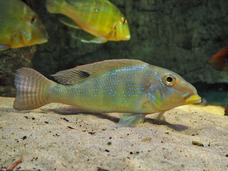 Retroculus im Aquarium