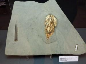 Fossiler Belemnit und Schulp unterschiedlicher Tintenfische
